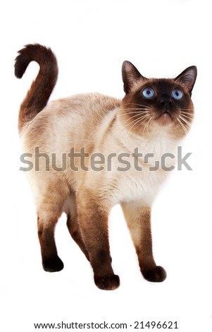 Blue eyed domestic cat of Thai breed.