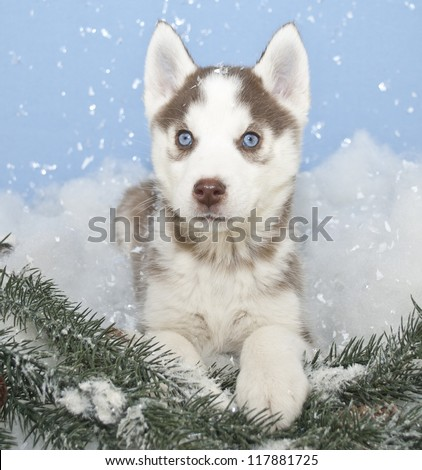 Blue eyed husky puppy sitting in snow with snow flakes falling around him.