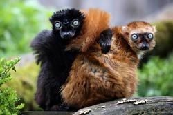 Blue eyed lemur couple