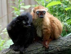 Blue Eyed Lemur male and female