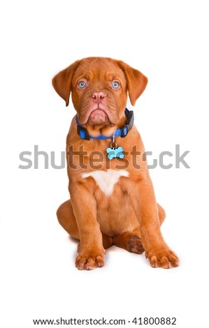 Blue eyed puppy with blue collar and name tag, isolated - stock photo