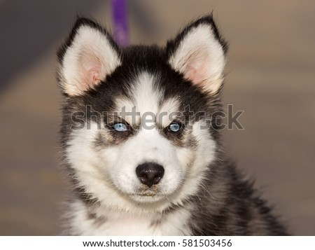 blue eyed siberian husky puppy...