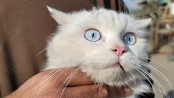 blue eyes feline closeup view