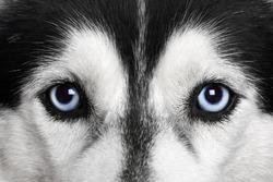 Blue eyes. Siberian Husky