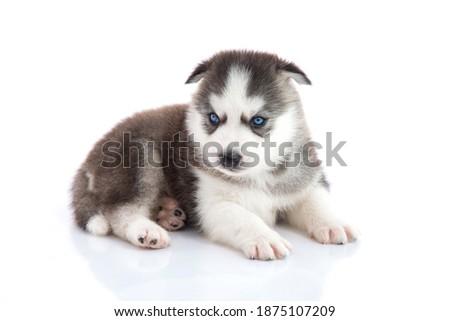 Blue eyes siberian husky puppy sitting on white background isolated Foto stock ©