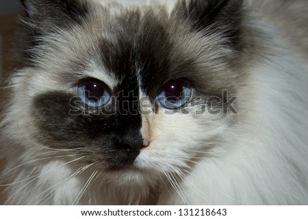 blue eyes white and black ragdoll cat portrait ez canvas