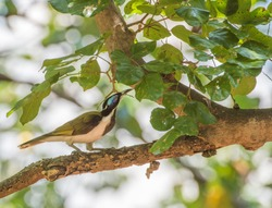 Blue-faced honeyeater bird perched in profile in tree in tropical Darwin, Australia