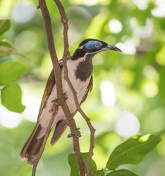 Blue-faced honeyeater bird perched in profile with colorful blue facial patch in tree in tropical Darwin, Australia