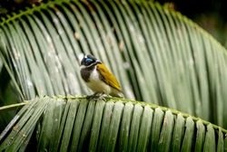 Blue faced honeyeater on a leaf