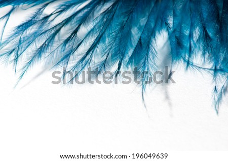 blue feather macro isolated