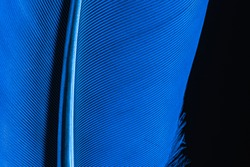 Blue feather,Macro shot a bird feather close-up background,Feather, Bird, Animal, Australia, Macrophotography,Close-up peacock feathers