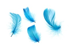 Blue feathers isolated on white background