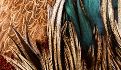 blue feathers mixed in with black feathers