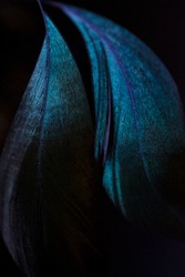 Blue feathers of an exotic bird on a black background. The feathers of a blue peacock on a dark background in the moonlight. Emerald peacock feather close up.