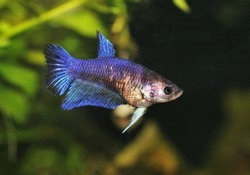 Blue female betta is swimming in fish tank with aquatic plants blur background. Siamese fighting fish (Betta splendens) is  freshwater ornamental fish from Thailand.