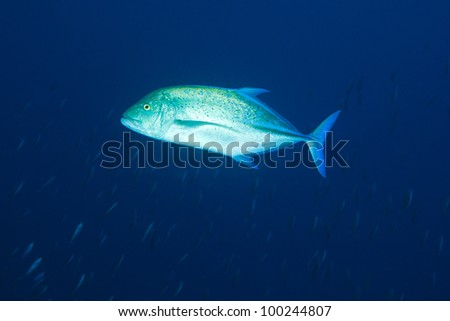 Blue-fin trevally in waters of Rangali Manta point - West Ari Atoll, Maldives