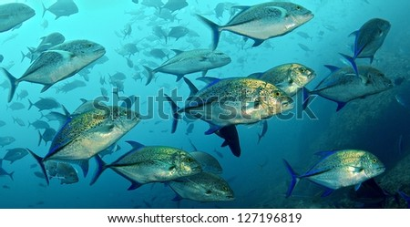 Blue-fin trevally swimming in the waters of Coco Island in Costa Rica