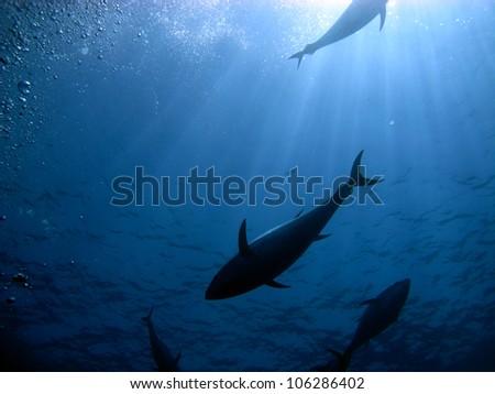 Blue fin tuna in the mediterranean seas