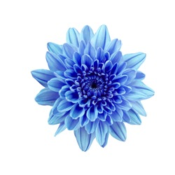 Blue flower chrysanthemum. Garden flower. white isolated background with clipping path.