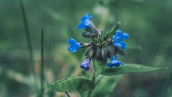 Blue flower in forest close-up. Spring wild flowers on natural blurred dark background , soft focus. Spring in forest