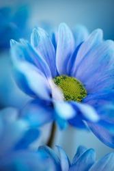 Blue flower in macro close-up. Abstract macro fine art. Wallpaper, postcard, etc.