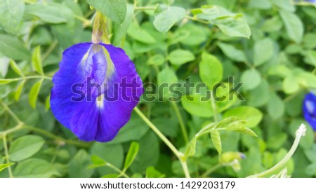 Blue flower in the garden called clitoria ternatea, bluebellvine, asian pigeonwings, butterfly pea, blue pea, cordofan pea or darwin pea.
