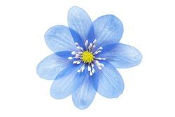 blue flower isolated on white background
