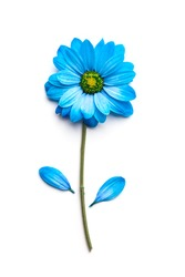 blue flower isolated on white background. Blooming concept. Flat lay.