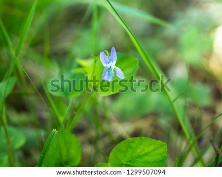Blue flower of common dog violet or wood violet (Viola riviniana) blooming in a forest #1299507094