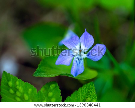 Blue flower of common dog violet or wood violet (Viola riviniana) blooming in a forest , close up, selective focus #1390340441