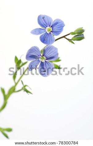 blue flower on a white background, isolated flower, closeup