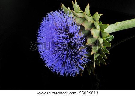 Blue flower, prickly plant with a green stem photographed against a black background
