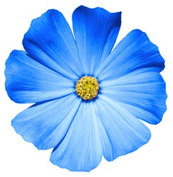 Blue flower Primula macro isolated on white