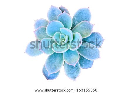 Blue flowering cactus on white background