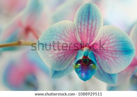 Blue Flowers - Blue Orchids (Orchidaceae)