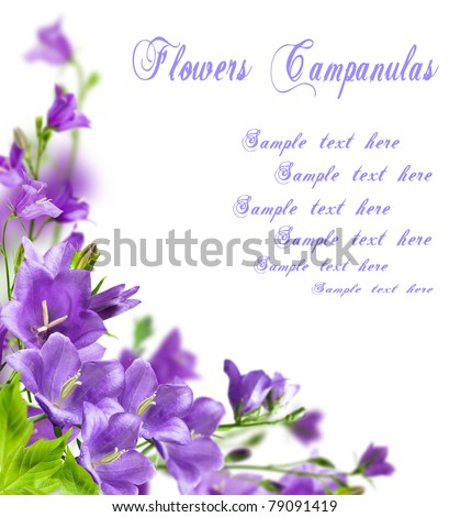 Blue flowers campanula on white background - stock photo