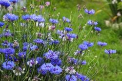 Blue flowers cornflowers in the garden. Cornflower in the flowerbed. Summer Blue wildflower. cornflowers.