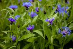 Blue flowers cornflowers in the garden. Cornflower in the flowerbed. Summer wildflower. Field of flowering beautiful wildflowers cornflowers.