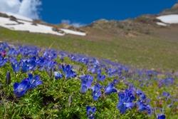 blue flowers field on a mount slope