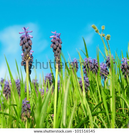 Blue flowers grape hyacinths (Muscari neglectum) in the green spring grass with sky on background