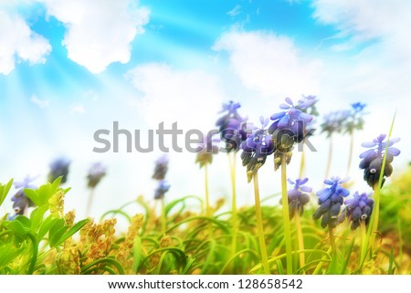 Blue flowers hyacinthes on the green grass with sun and blue sky