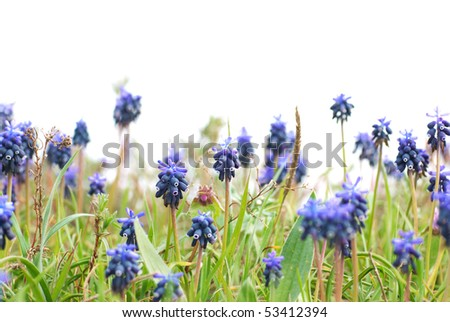 Blue flowers Hyacinths on the green grass