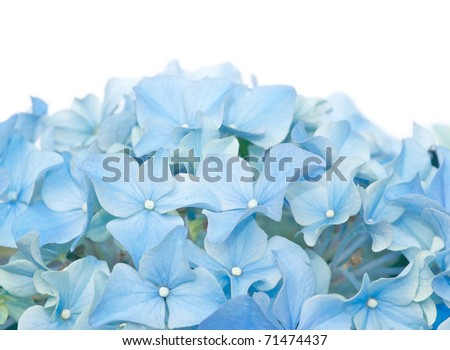 Blue flowers (hydrangea) against white background