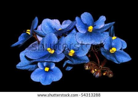 Blue flowers isolated on black - stock photo