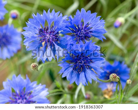 Blue flowers of cornflowers in the field. Blue cornflowers on green background. Blurred nature background with bokeh. Flowers as Background. Foto stock ©