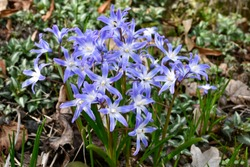 Blue flowers of glory of the snow
