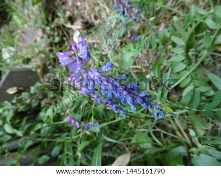 Blue flowers of the wood bitter-vetch (Vicia orobus)