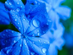 Blue flowers with water drops, background.
