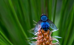 Blue fly. Close-up. Fly on a green plant. Helen coniferous leaves. Blue fly in its natural habitat. Coniferous cone. Wings, eyes, paws of a fly close-up. Insect macro photography