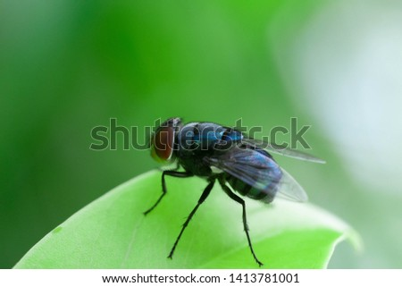 Blue fly, Fly, Blue fly on leaf.